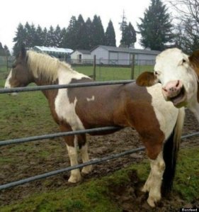 Cows coming home, straight from the horse's mouth...